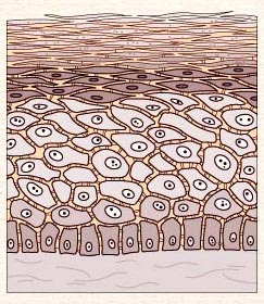 Illustration of skin cell composition