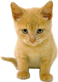 Cute golden kitten