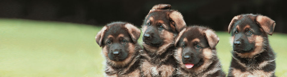 4 German Sheppard puppies outside