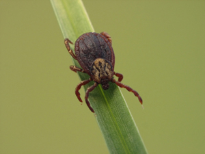 Image of tick on grass